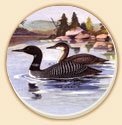 A Loon Couple Wildlife Birds Coaster - Set of 8